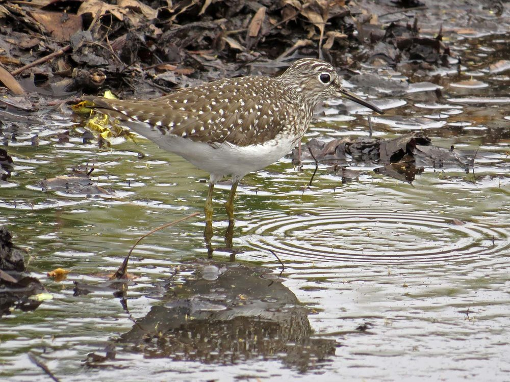 Solitary sandpiper, northern Central Park, April 27, 2017