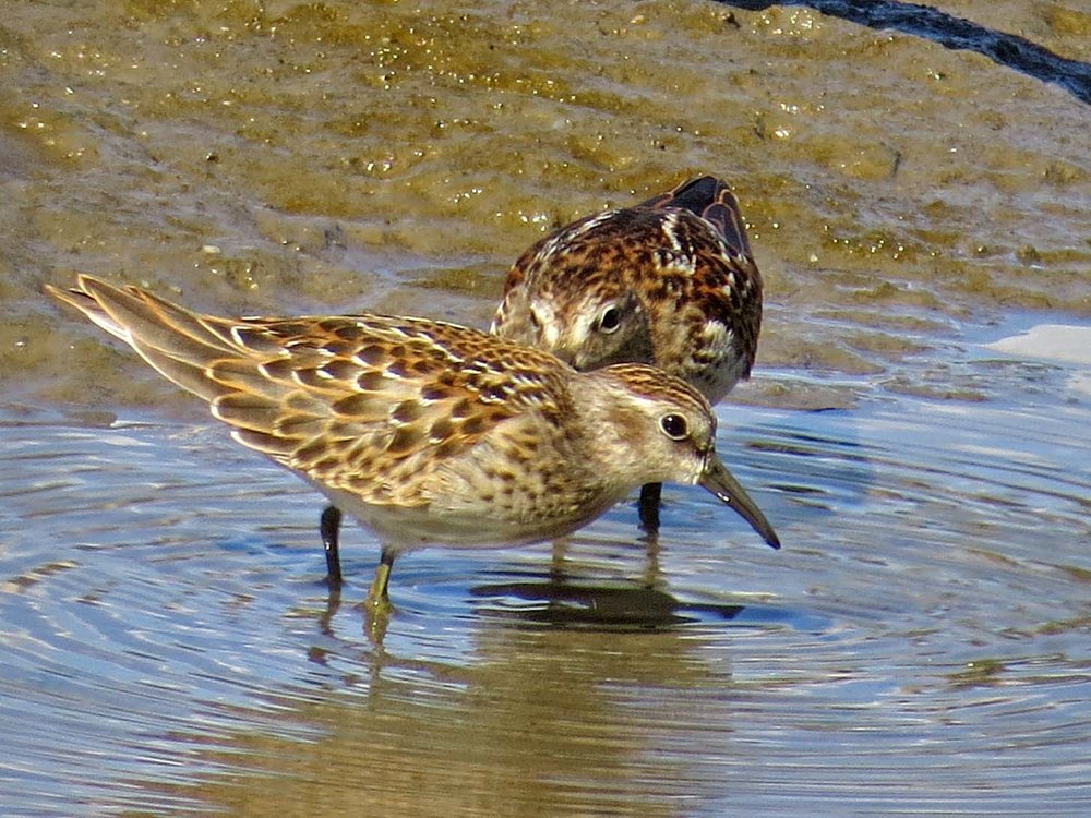Least sandpipers 1500 8-13-2015 136P.jpg