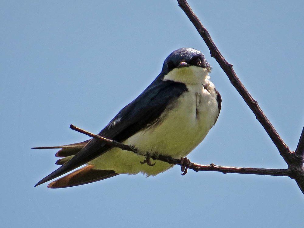 Tree Swallow 1500 5-14-2017 041P.jpg