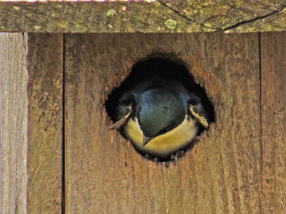 Tree Swallow 1500 5-16-2017 221P.jpg