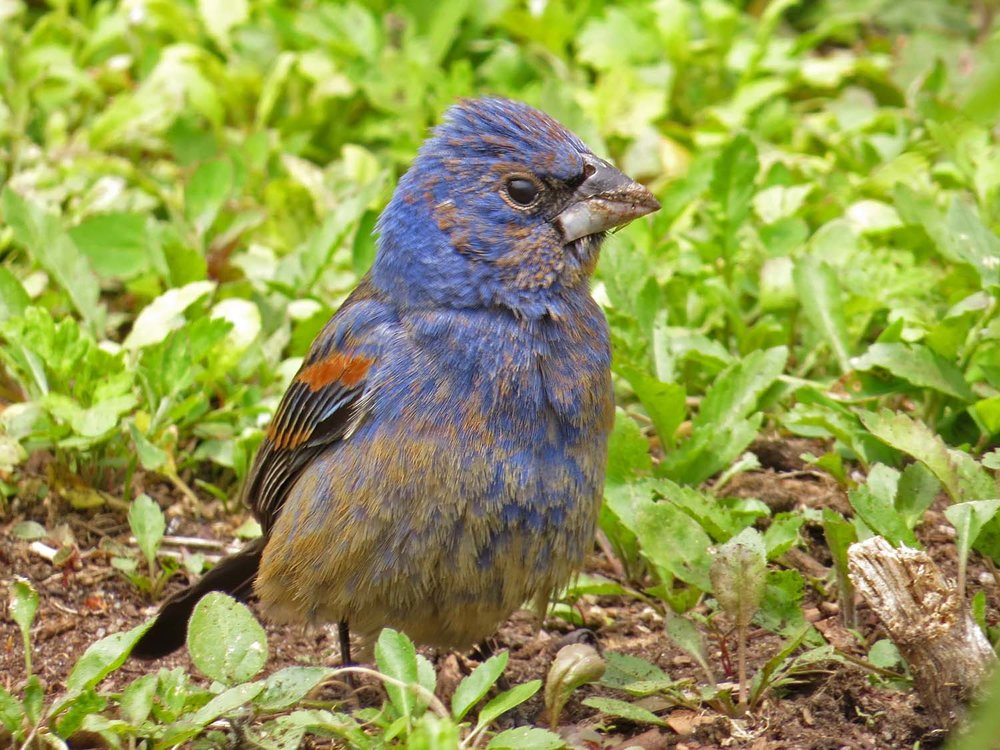 Blue grosbeak, Battery Park, New York, May 11, 2017
