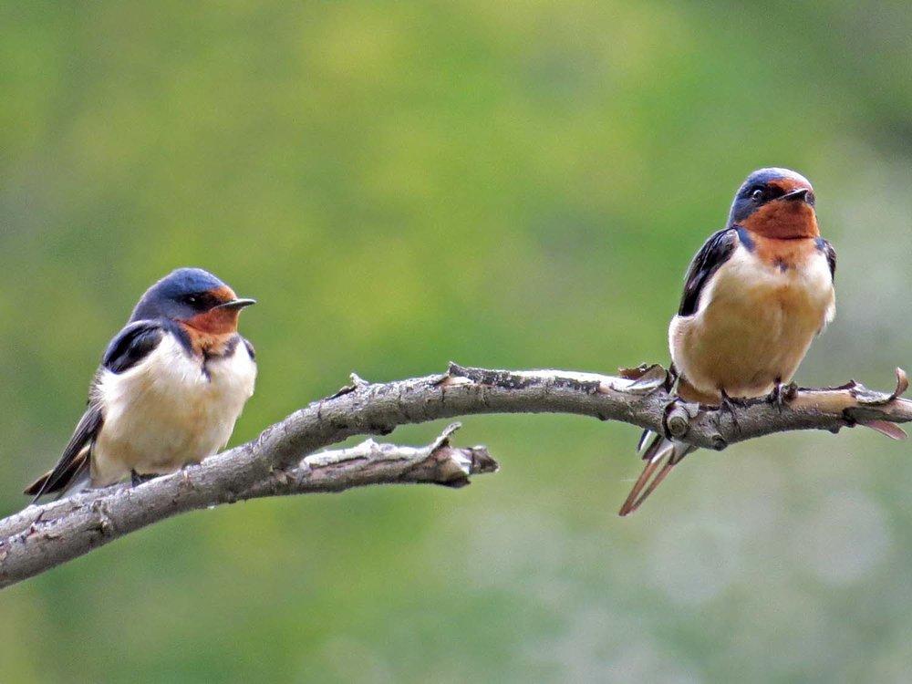 Barn Swallow 1500 5-6-2015 039P.jpg