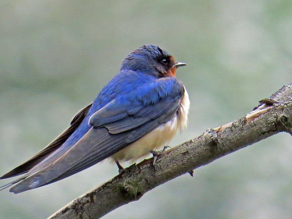 Barn Swallow 1500 5-6-2015 090P.jpg