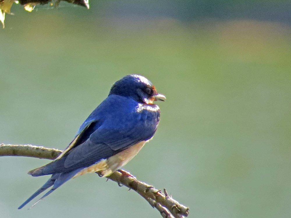 Barn Swallow 1500 5-8-2015 068P.jpg