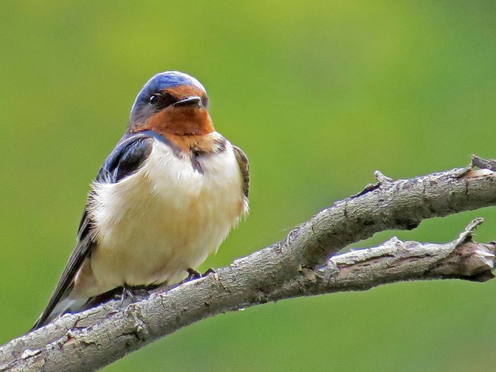 Barn Swallow 1500 5-6-2015 070P.jpg