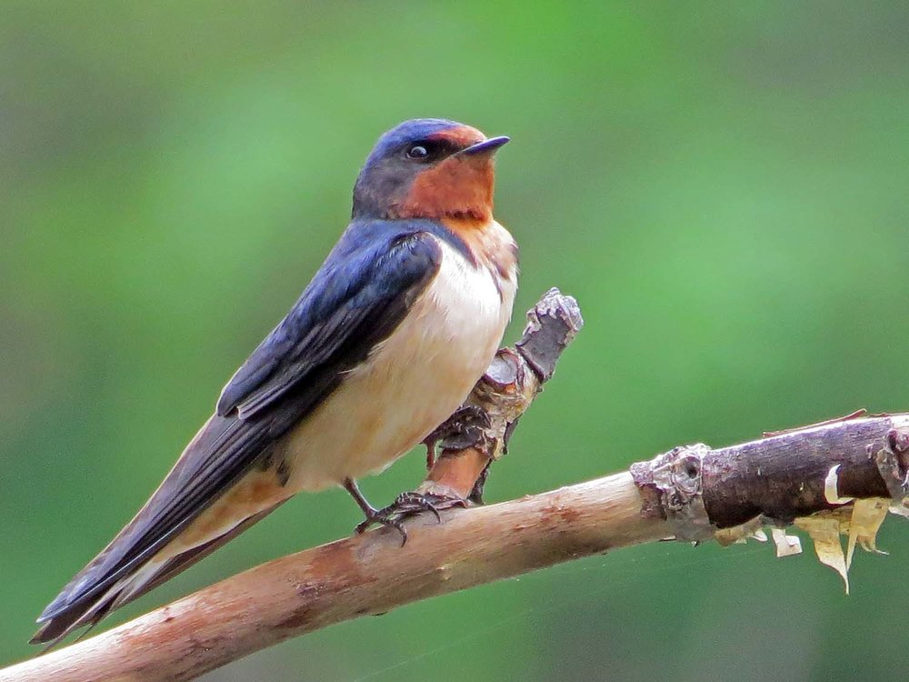 Barn Swallow 1500 5-6-2015 065 TWP.jpg