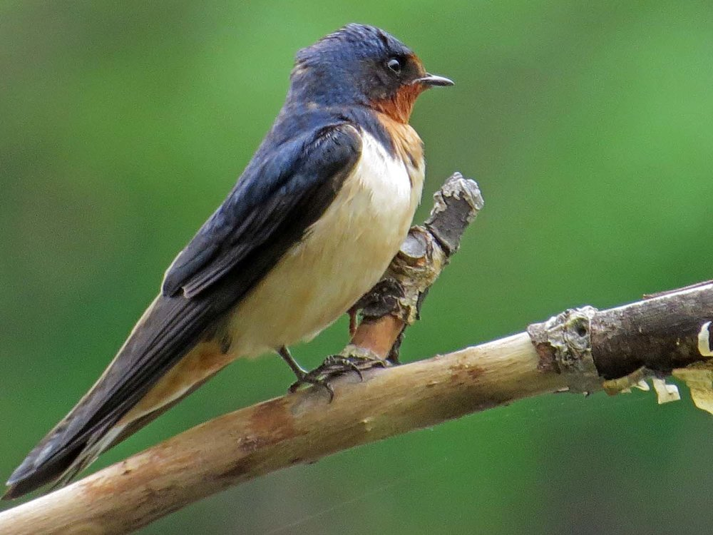 Barn Swallow 1500 5-6-2015 067P.jpg
