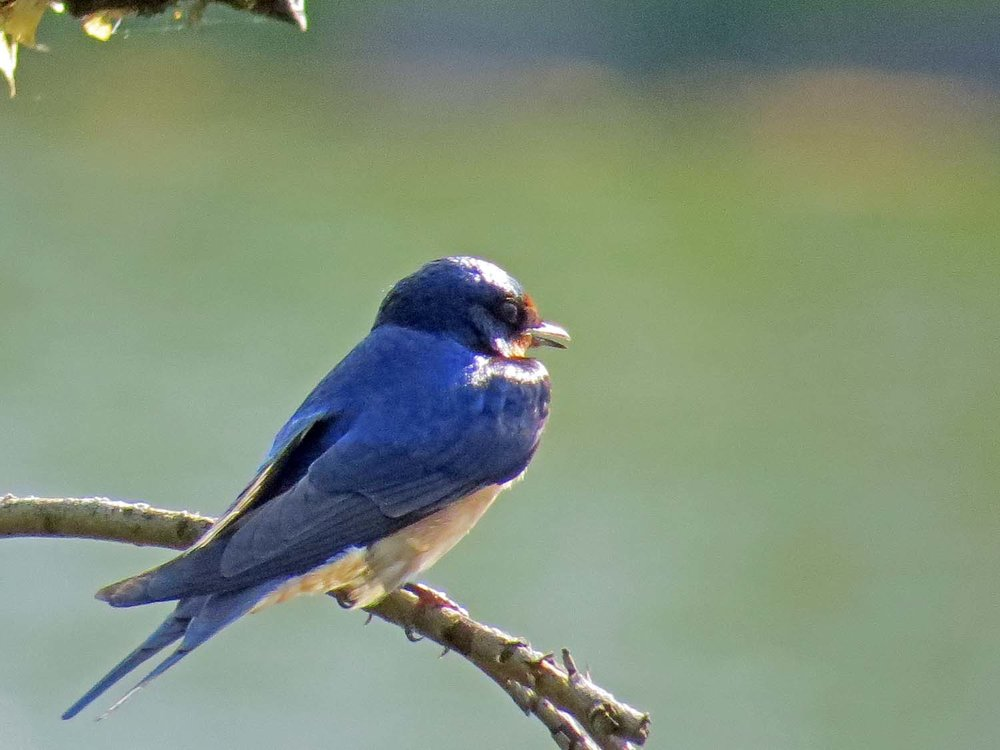 Barn Swallow 1500 5-8-2015 068P.jpg