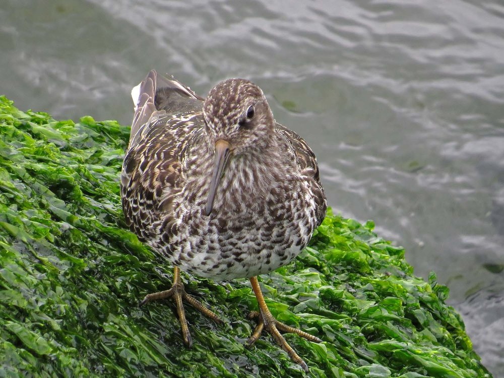 Purple sandpiper, Governors Island, May 20, 2017