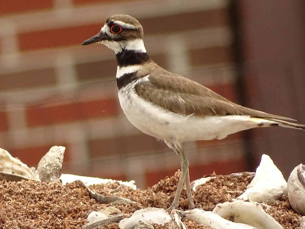 Killdeer, Governors Island, May 27, 2017