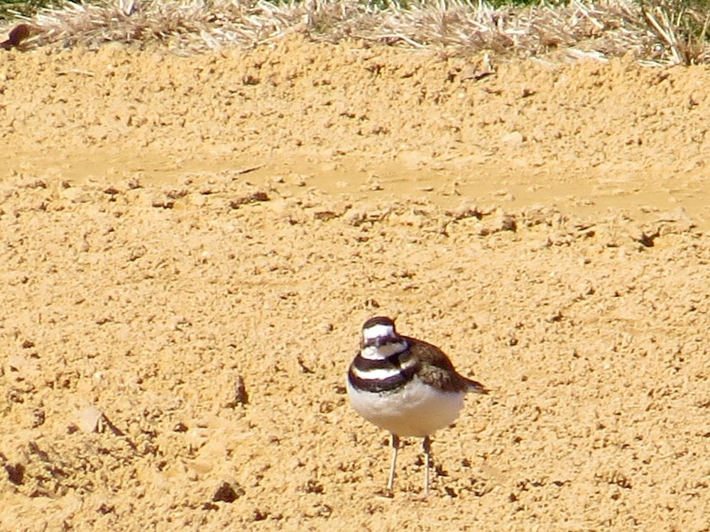 Killdeer, Central Park North Lawn, Feb. 24, 2017