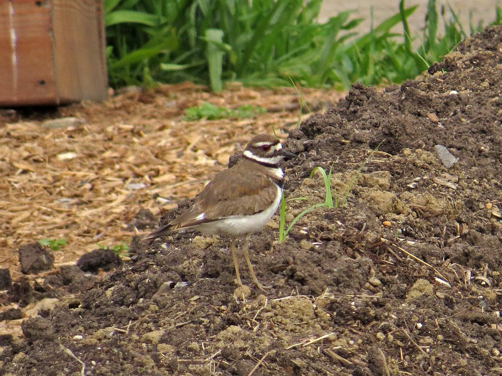 Killdeer, Governors Island, May 20, 2017