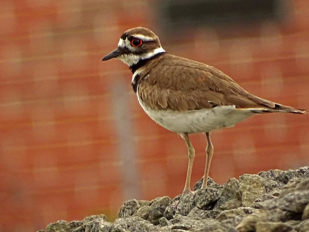 Killdeer 1500 5-27-2017 084P.jpg