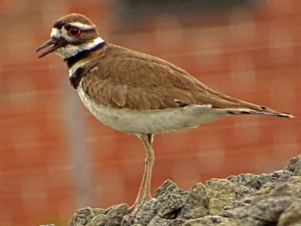 Killdeer 1500 5-27-2017 087P.jpg