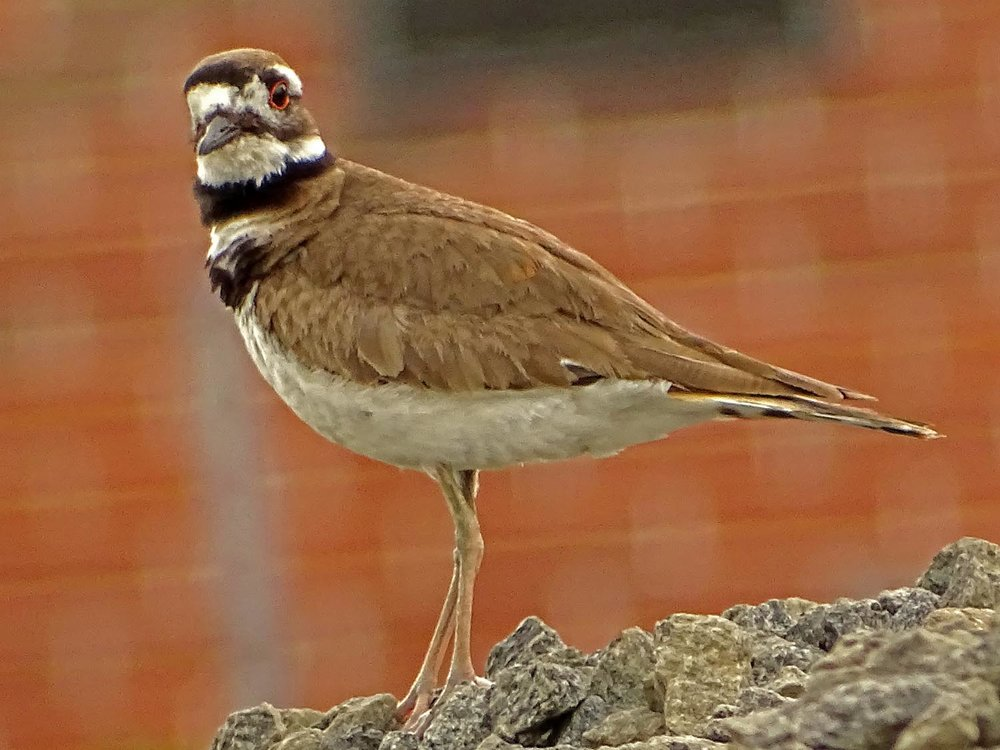 Killdeer 1500 5-27-2017 089P.jpg