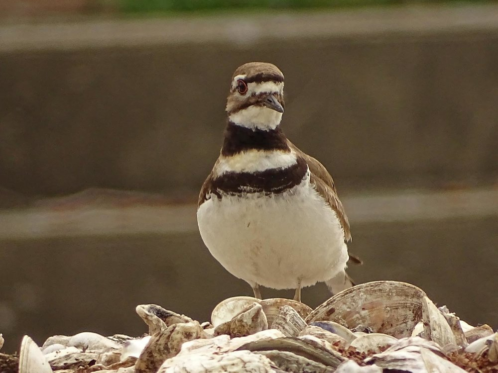 Killdeer 1500 5-27-2017 116P.jpg