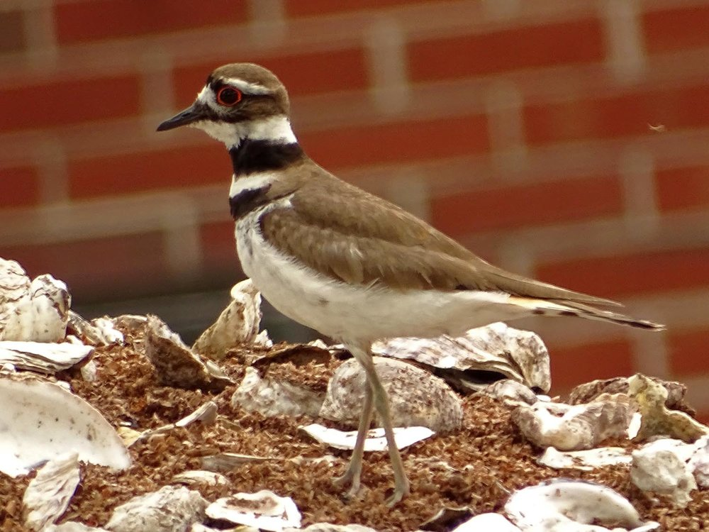 Killdeer 1500 5-27-2017 098P.jpg