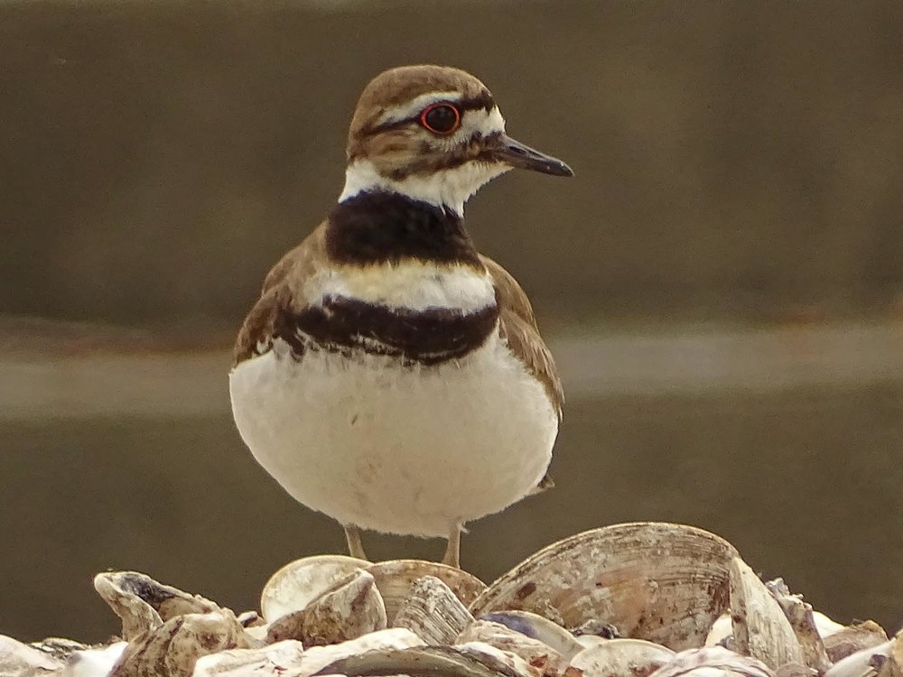 Killdeer 1500 5-27-2017 118P.jpg