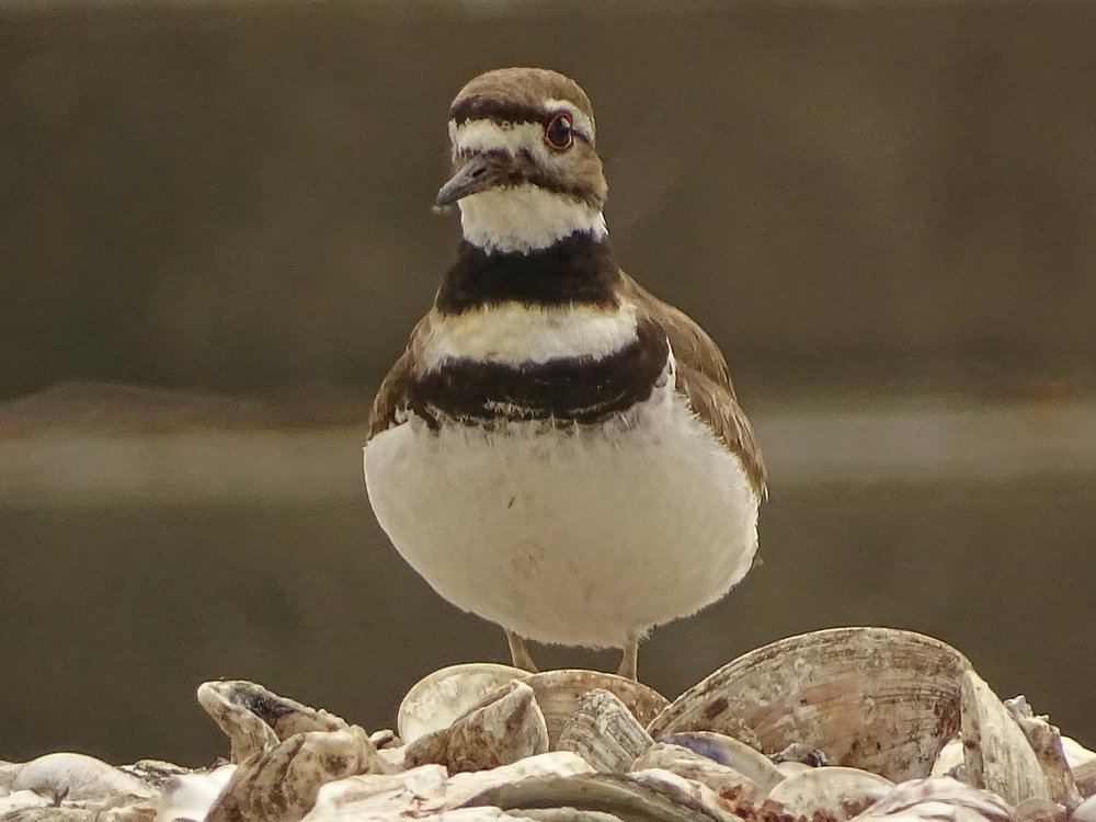 Killdeer 1500 5-27-2017 121P.jpg