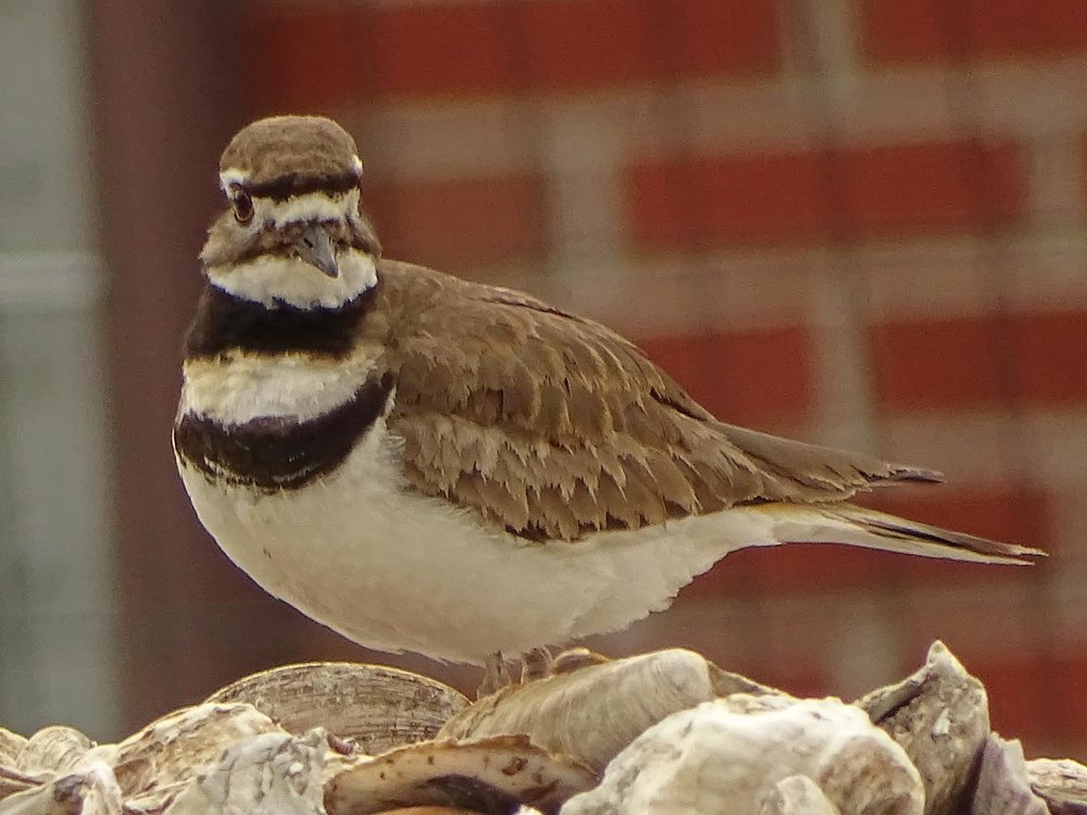 Killdeer 1500 5-27-2017 144P.jpg