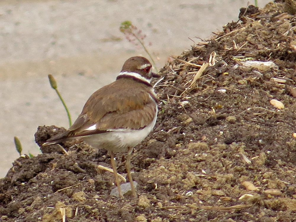 Killdeer 1500 5-20-2017 432P.jpg
