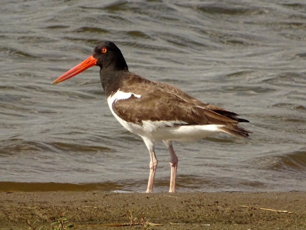 American oystercatcher, Jamaica Bay Wildlife Refuge, June 1, 2017