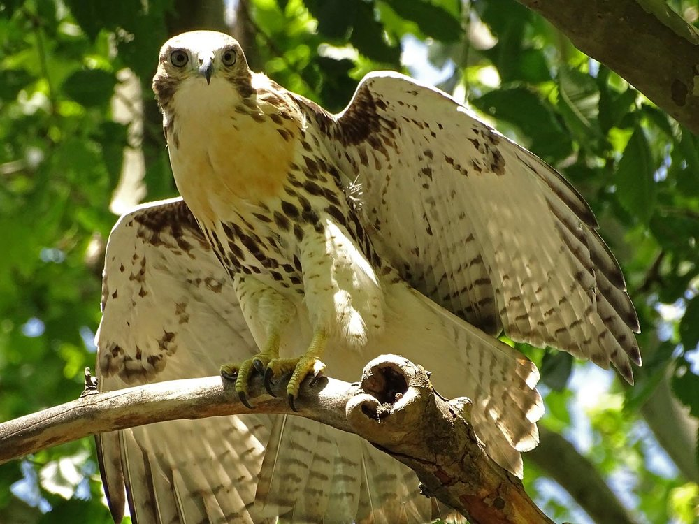 Red-Tailed Hawks: Grant's Tomb