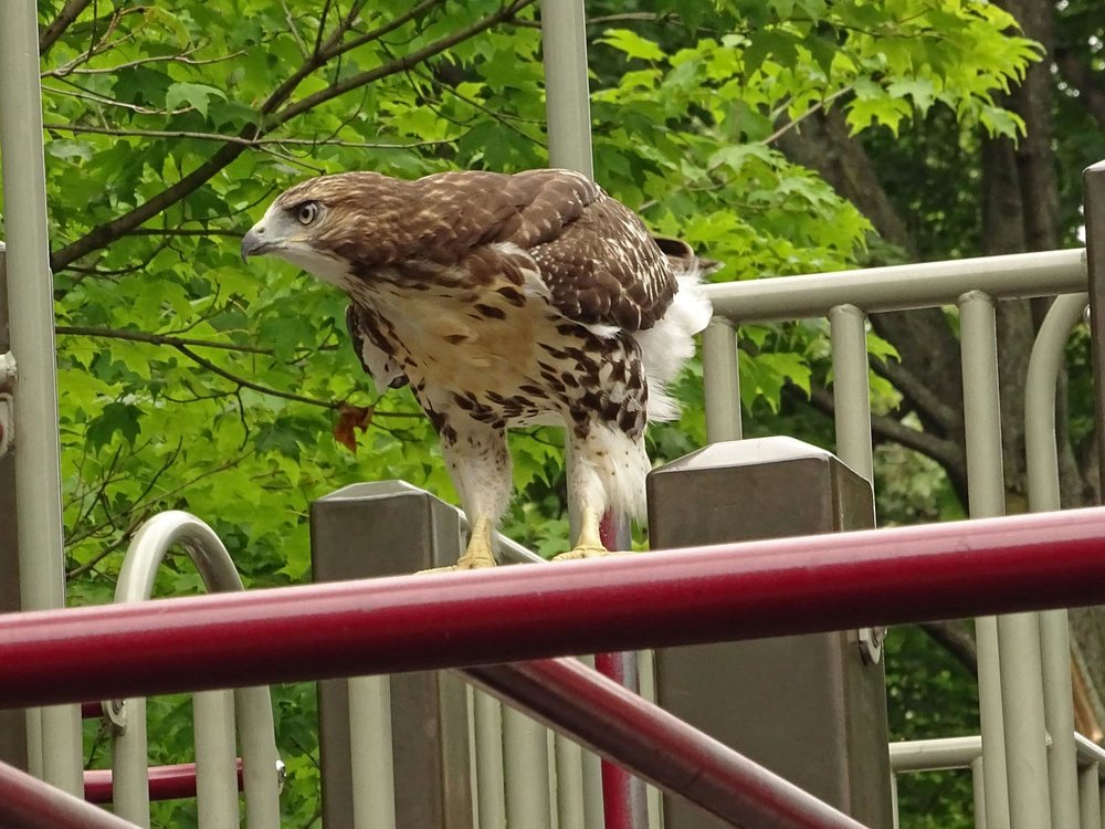 A Grant's Tomb fledgling at the Claremont Playground, June 23, 2017.