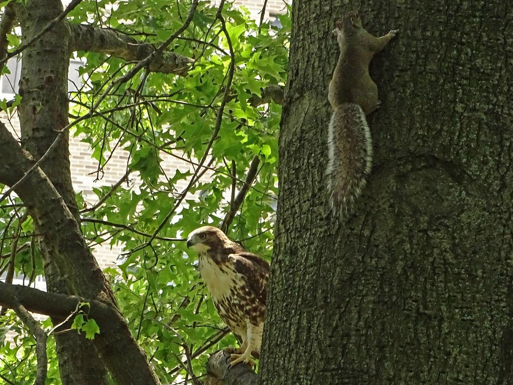 Baby hawk vs. squirrel. The squirrel won.