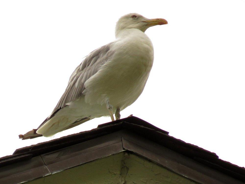 Mama Herring Gull, keeping watch