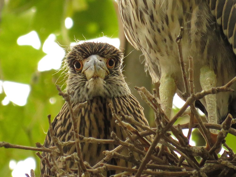 Yellow-crowned night heron youngster surveying the realm, Aug. 6, 2017