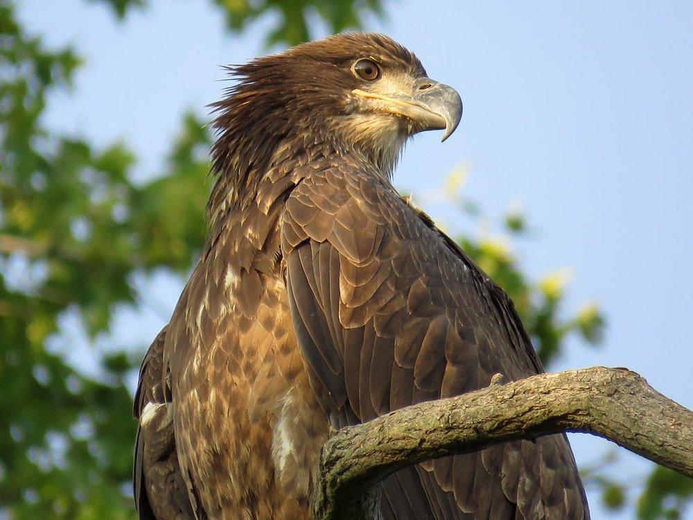 Young bald eagle, Mount Loretto Unique Area, Aug. 20