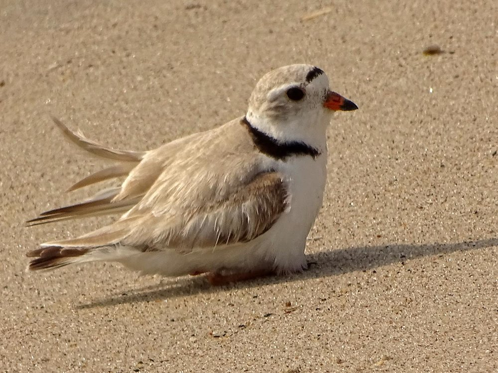 Piping plover, feigning a broken wing as distraction behavior