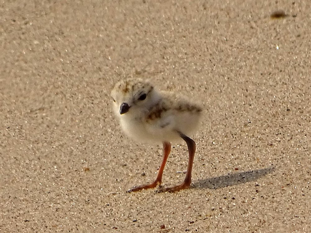 Piping plover youngster, in a brief pause between running around on the sand