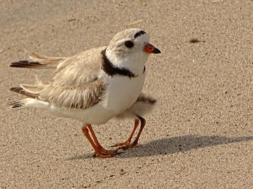 An adult piping plover with a little Herbert, Breezy Point, Queens, June 14