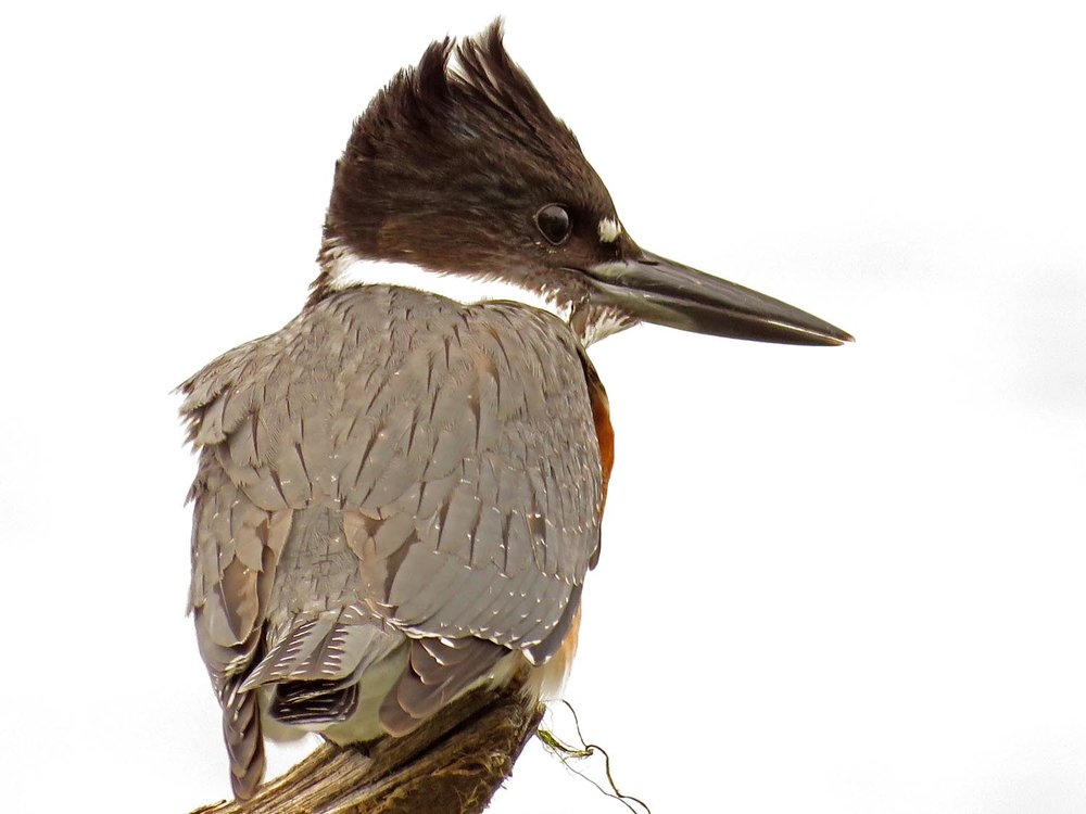 Female belted kingfisher, Jamaica Bay Wildlife Refuge, September 30, 2017