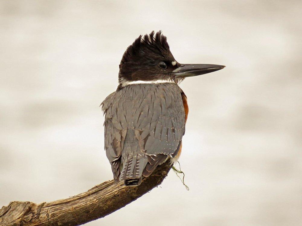 Belted kingfisher, Jamaica Bay Wildlife Refuge, September 30, 2017