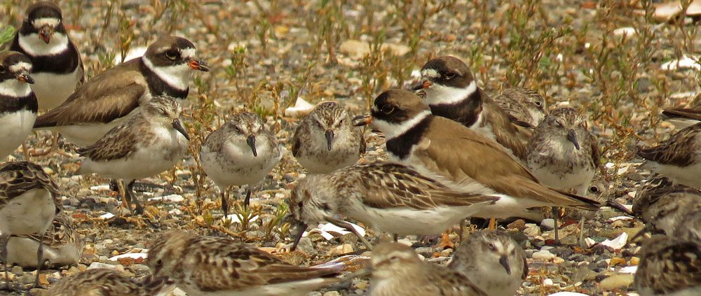 Semipalmated plovers, Broad Channel American Park, August 16, 2017
