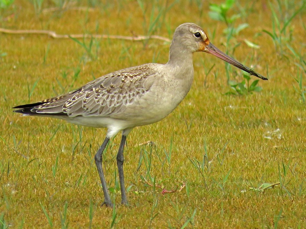 Hudsonian godwit, Jamaica Bay Wildlife Refuge, October 11, 2017