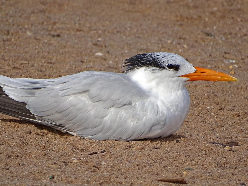 Royal tern, Midland Beach, November 2, 2017