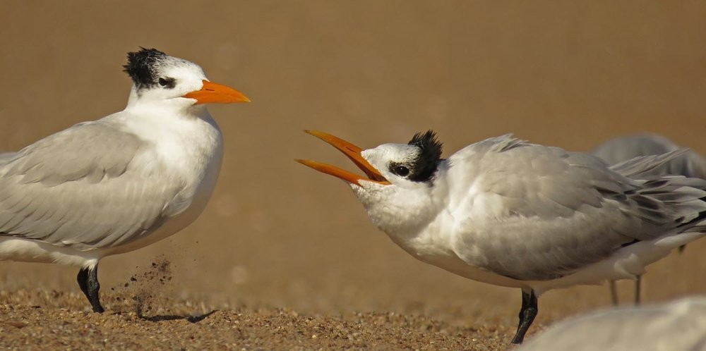 Royal terns in conversation, Midland Beach, November 2, 2017