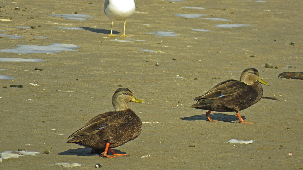 Ducks 1500 1-10-2018 022P.jpg