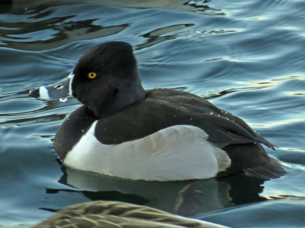 Ducks 1500 1-9-2018 154P.jpg