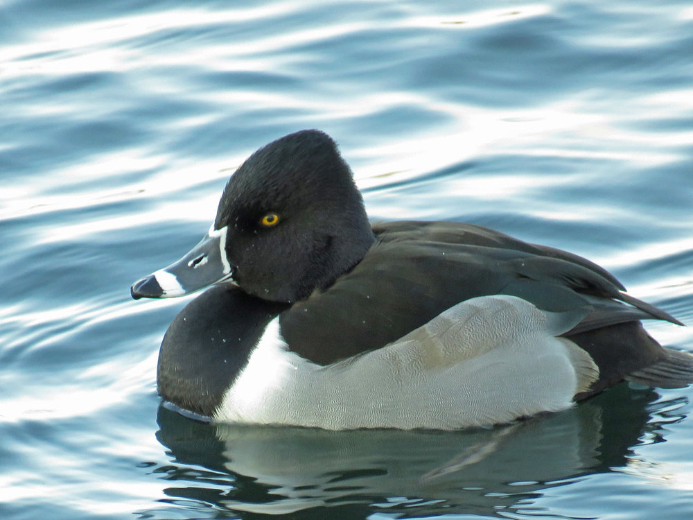 Ducks 1500 1-9-2018 129P.jpg