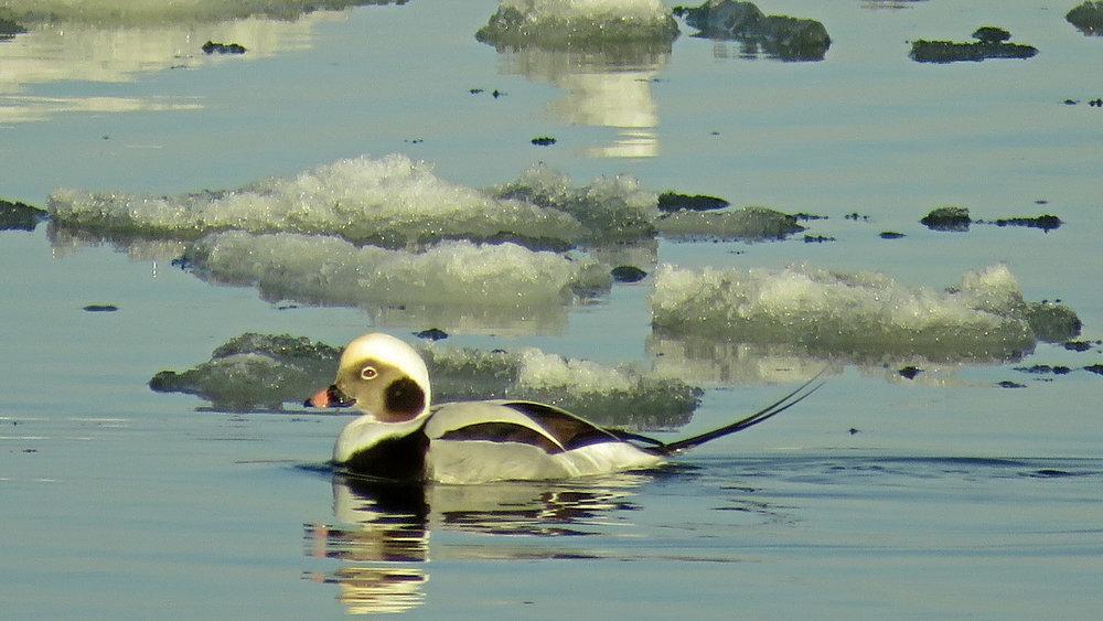 Long-tailed duck, Floyd Bennett Field, Brooklyn, Jan. 10, 2018