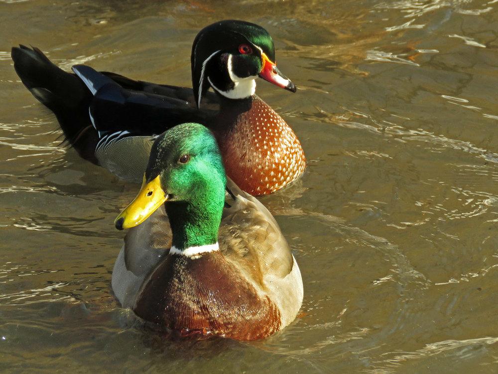 Ducks 1500 1-9-2018 045P.jpg
