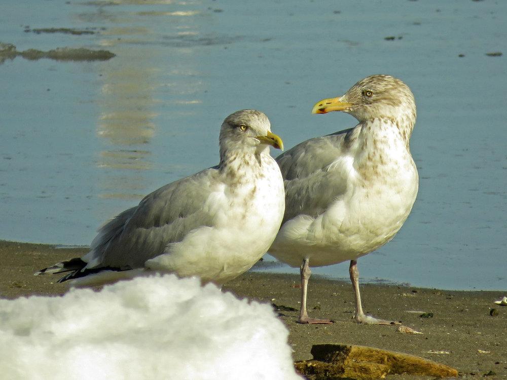 Herring gulls, Floyd Bennett Field, January 10, 2018