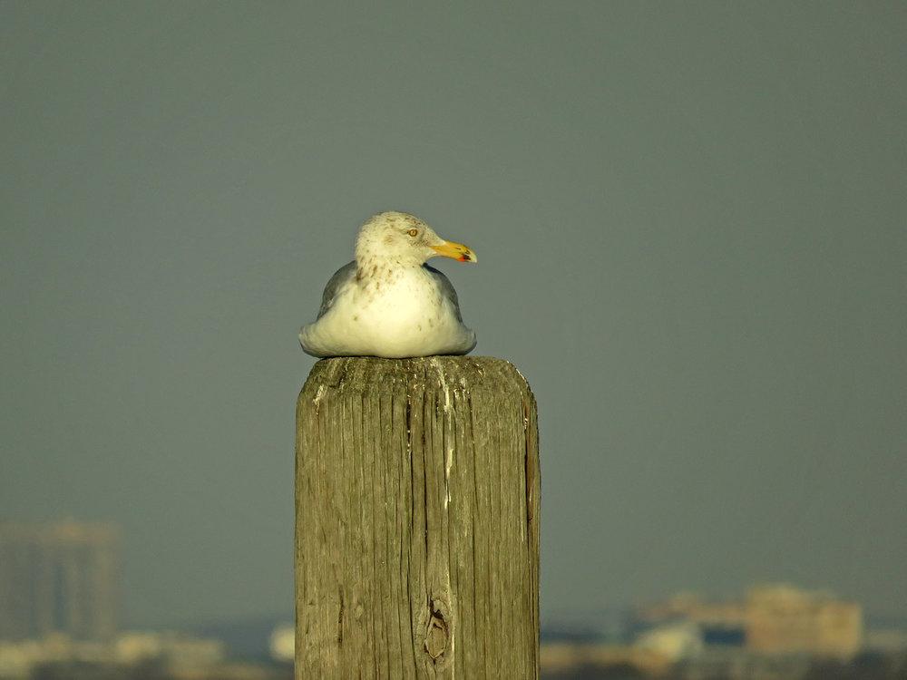 Herring gull, Floyd Bennett Field, January 10, 2018