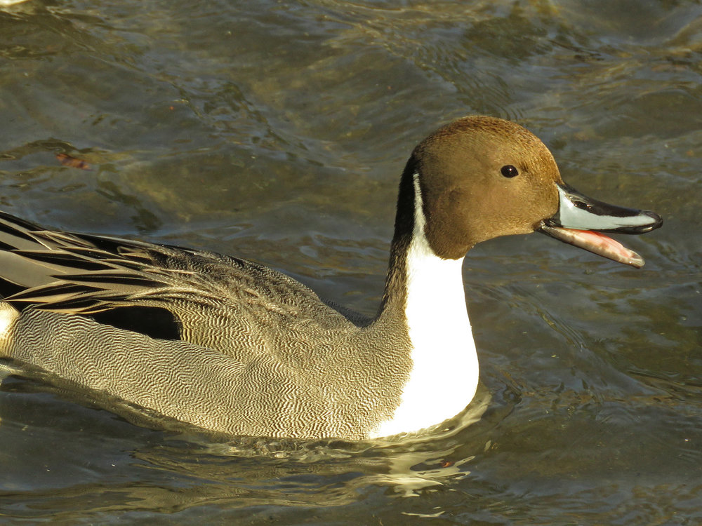 Pinny, the northern pintail at the Pond, Central Park, January 9, 2018