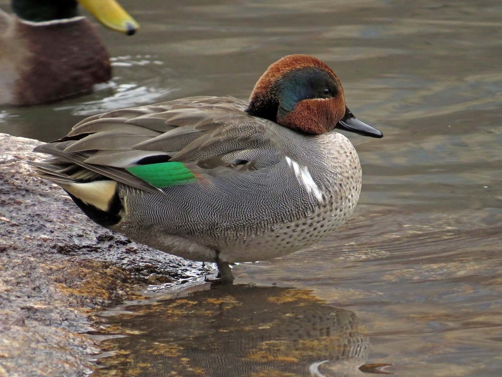 Male green-winged teal, the Pond, Central Park, December 21, 2016